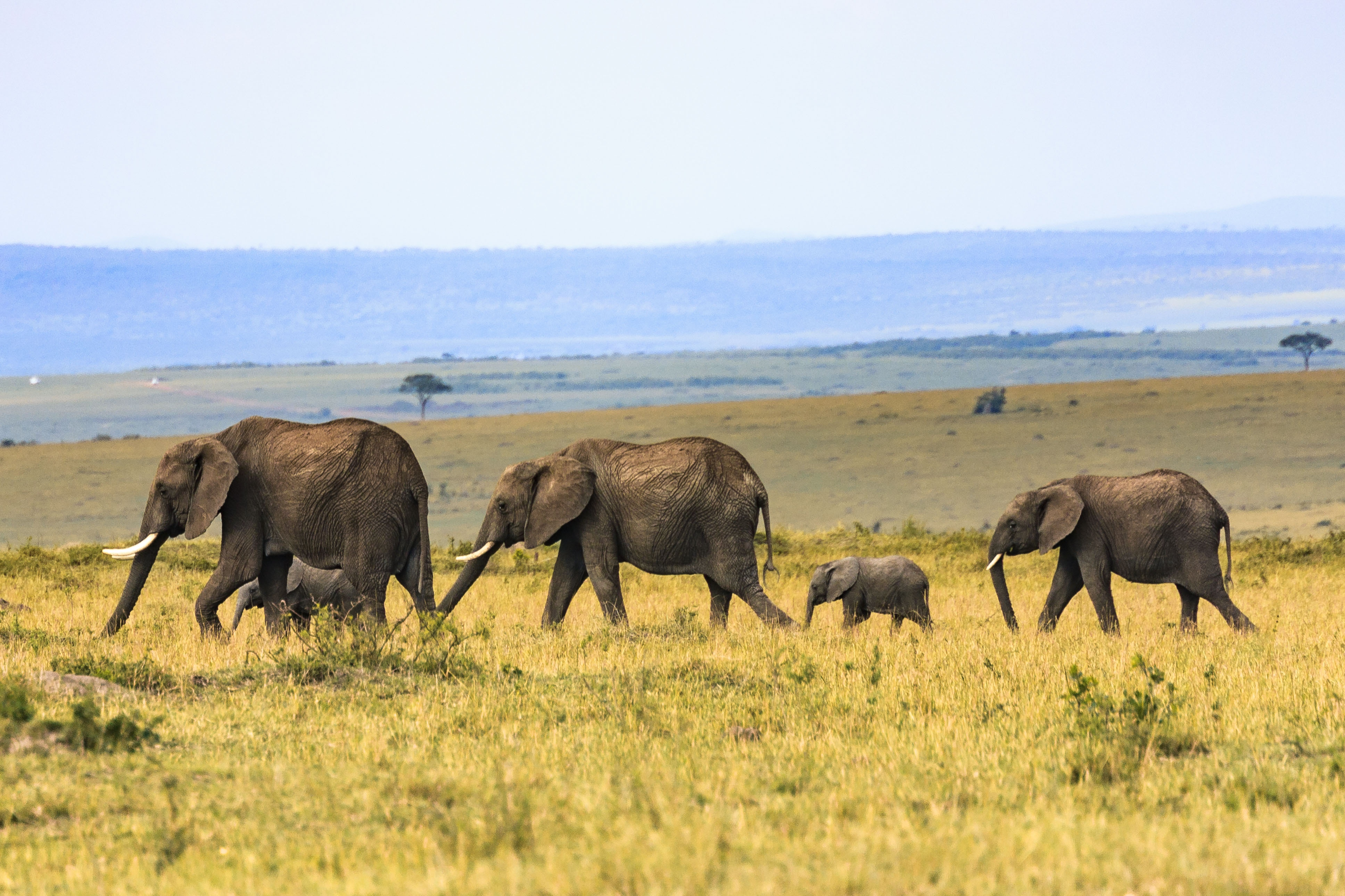 kenya-elephants