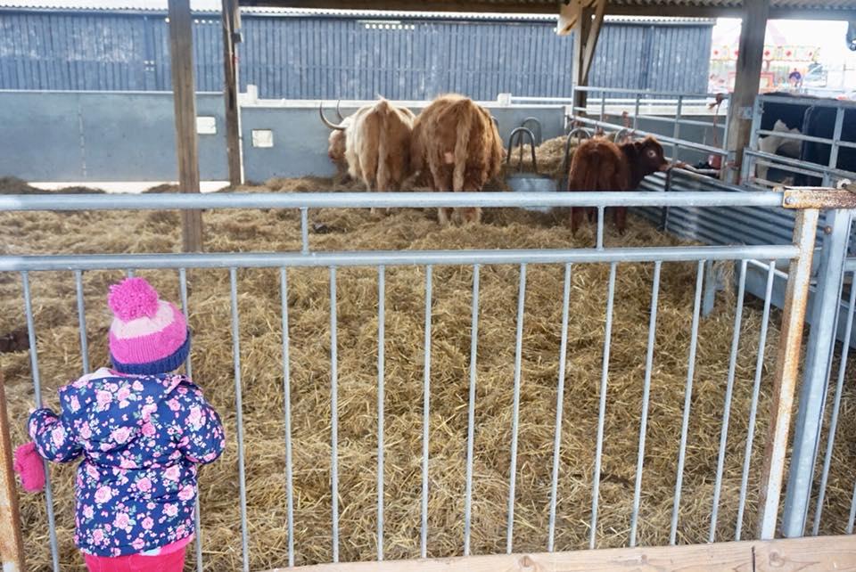 brown-cows