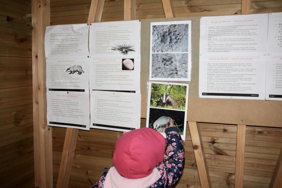 Child in a badger hide looking at badger track prints