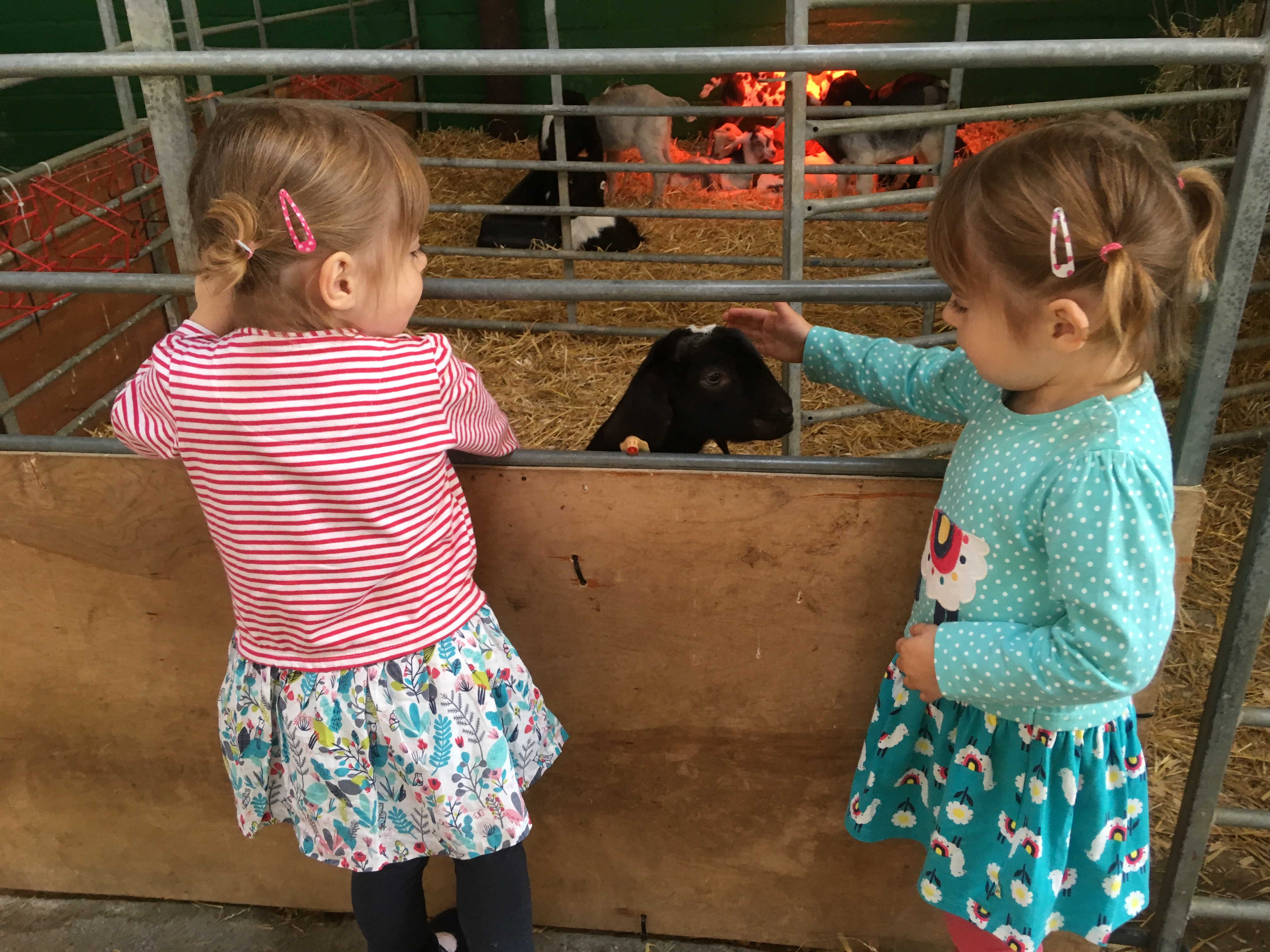 twins stroking a goat