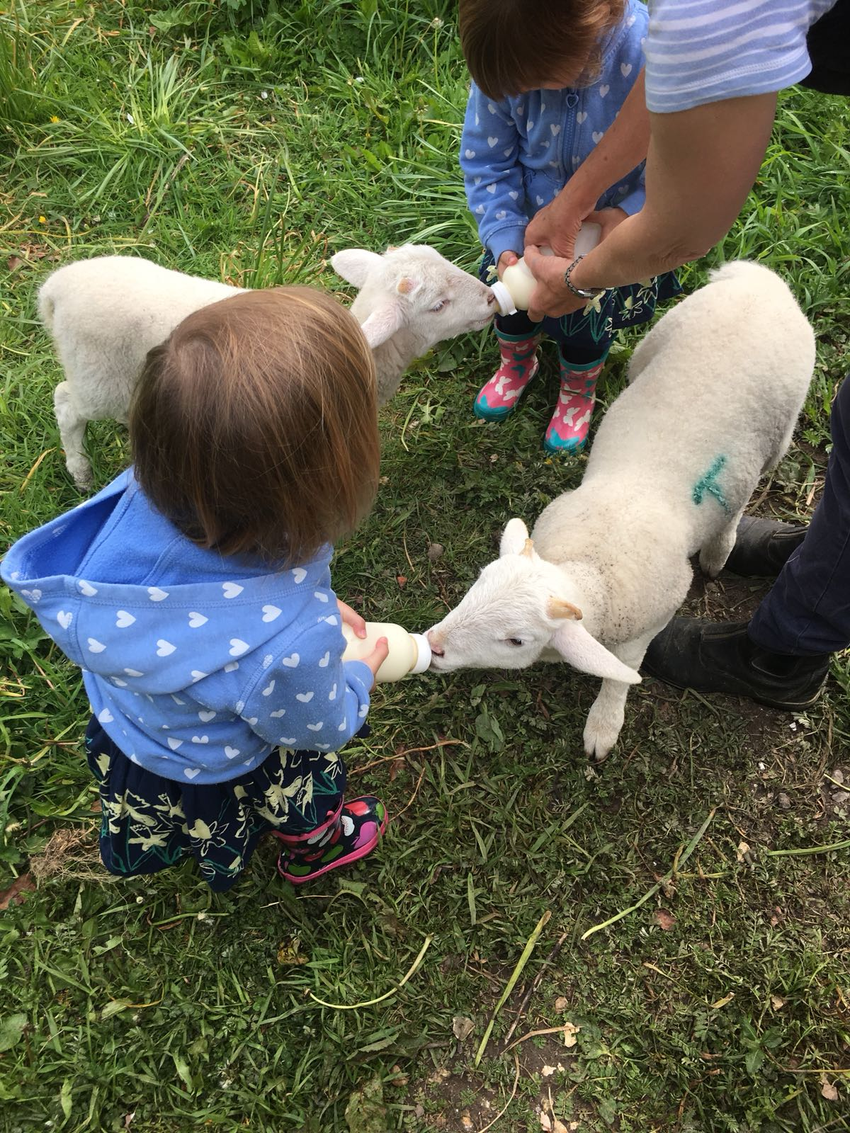 Twins feeding the lambs at Kennel farm