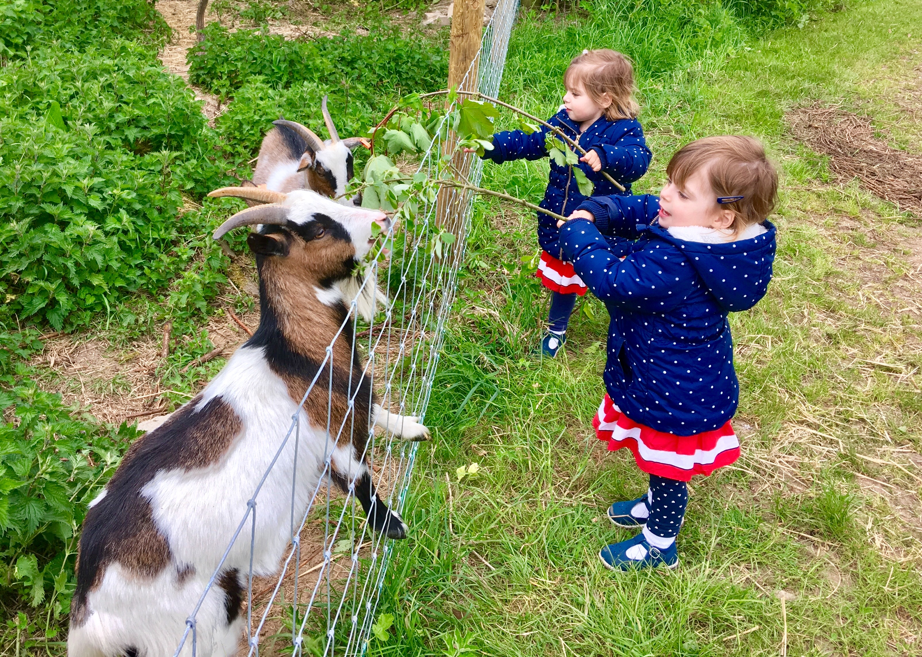 Twins feeding the goats at Kennel farm