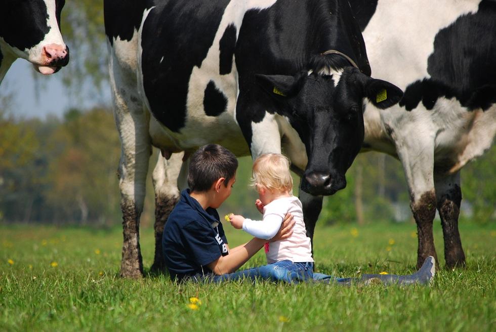 BoeBadDoe farm cows. Top child friendly holidays in Holland