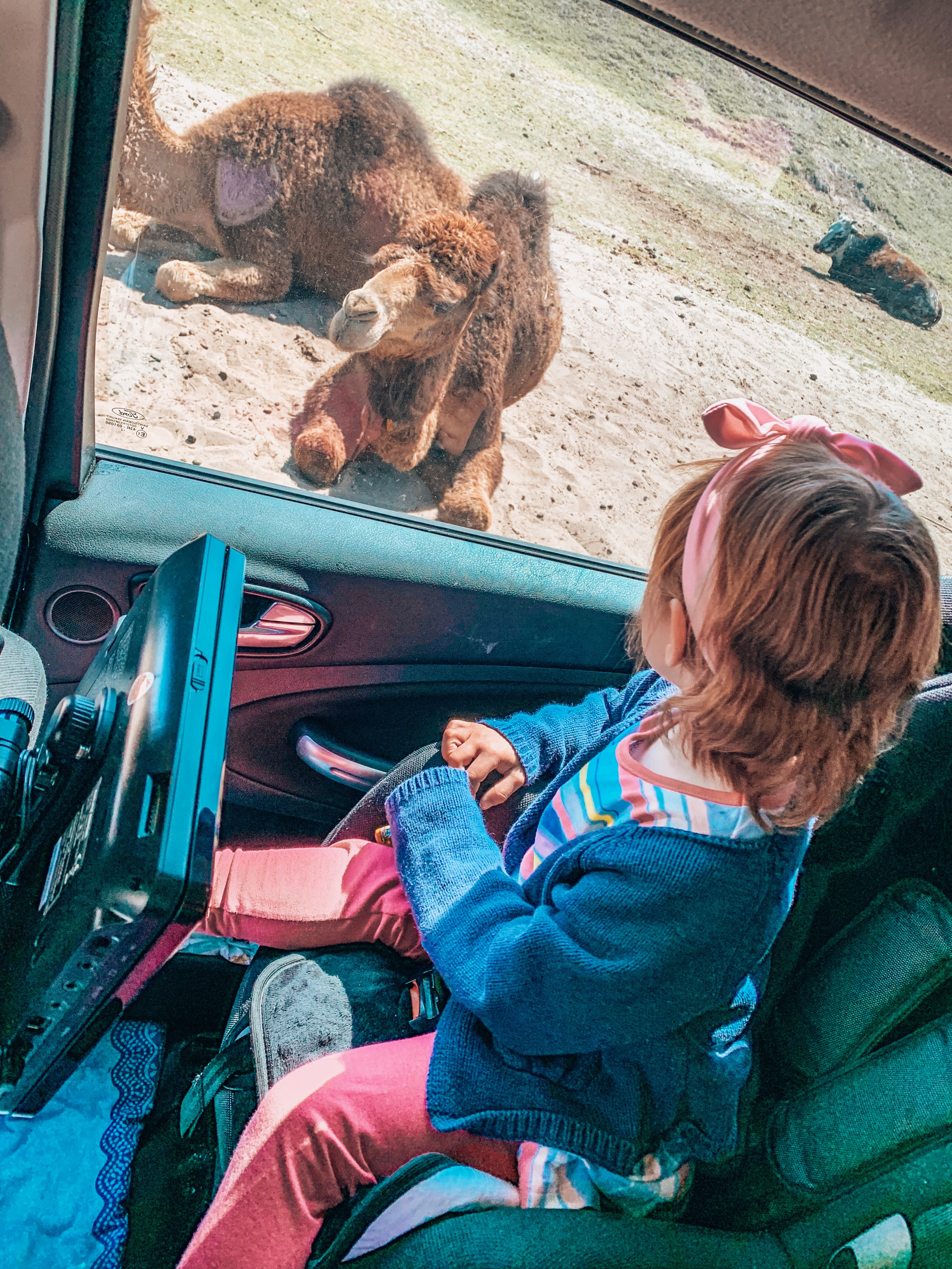 Car safari at Beekse Bergen safari park watching the camels. Places to visit in Holland