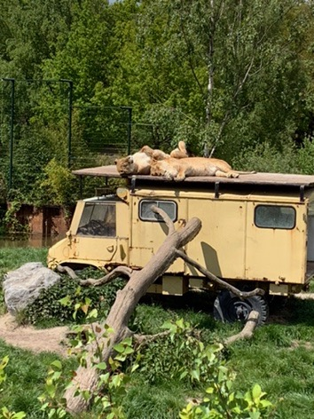 Two Lions sleeping on top of a landrover at Beeske Bergen Safari Park, Holland