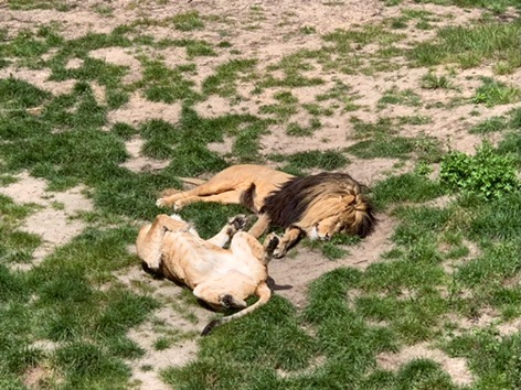 Two Lions sleeping at Beeske Bergen Safari Park, Holland