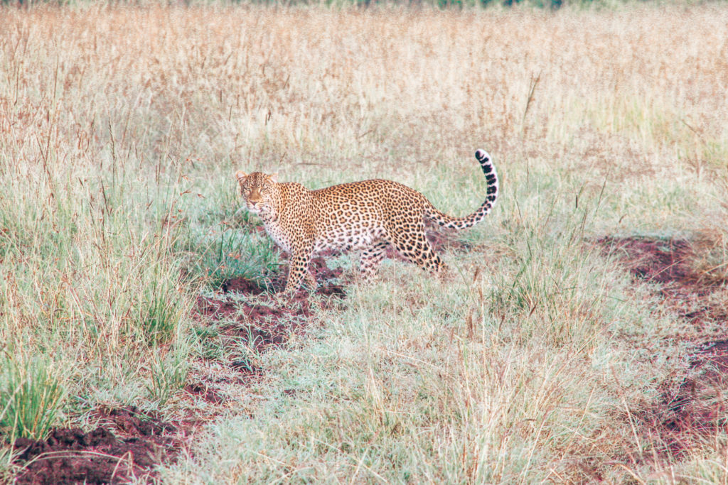 Leopard walking through the grasses in Kenya