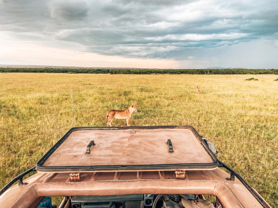 image taken from open sunroof of a car on safari in Maasai Mara with Kids lion at front of car