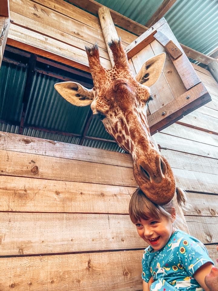Rescue giraffe holding girls hair in mouth