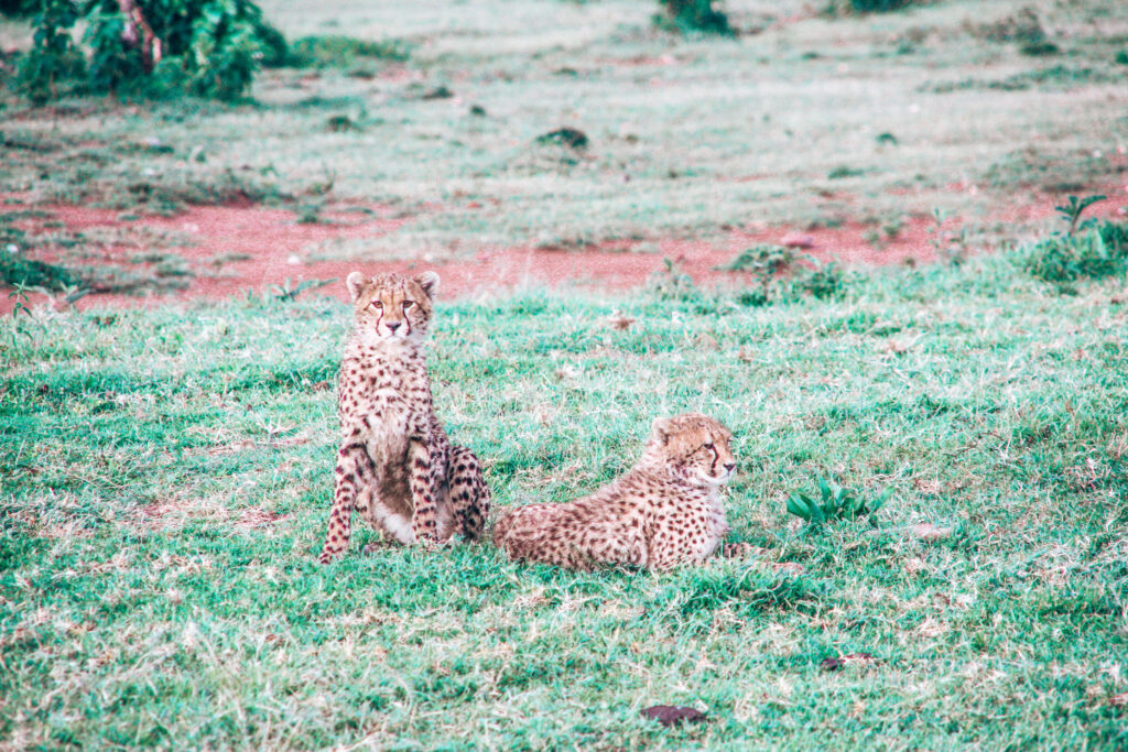 Two cheetah brothers sitting in the short green grass