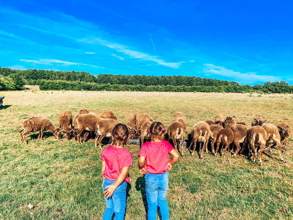 two children looking at a flock of brown sheep in an open field.