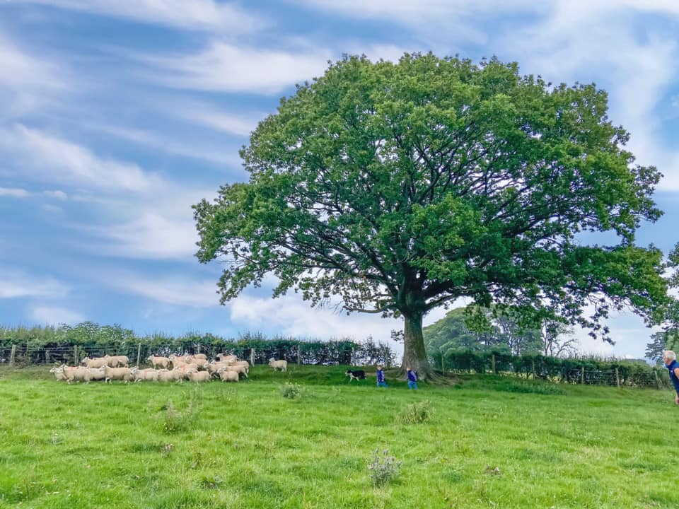 A large oak tree with sheep underneath and two small children founding them up
