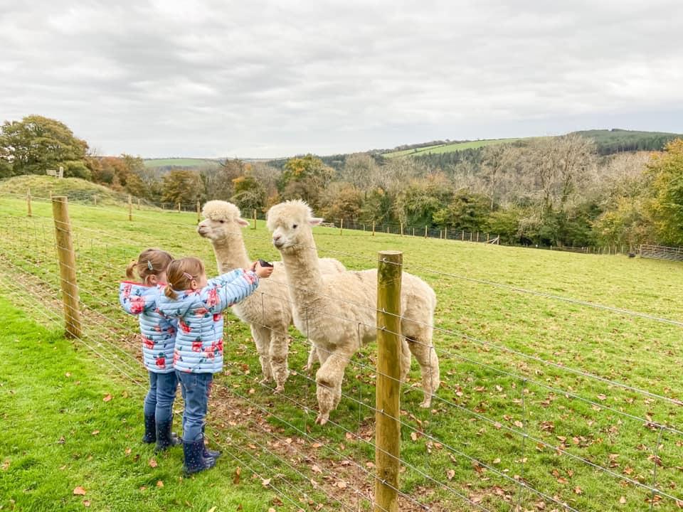 Glynn Barton alpaca feeding