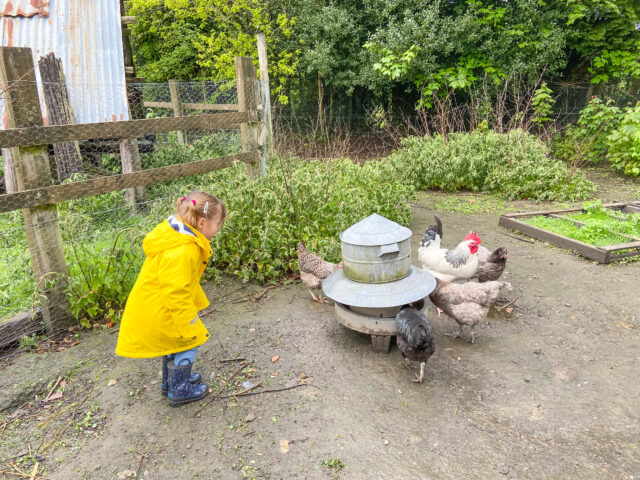 Little girl feeding the chickens at Feather Down farm