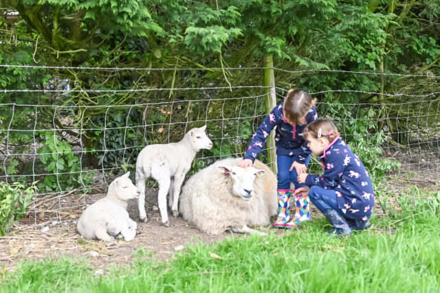 Feather Down farm girls with sheep and lambs