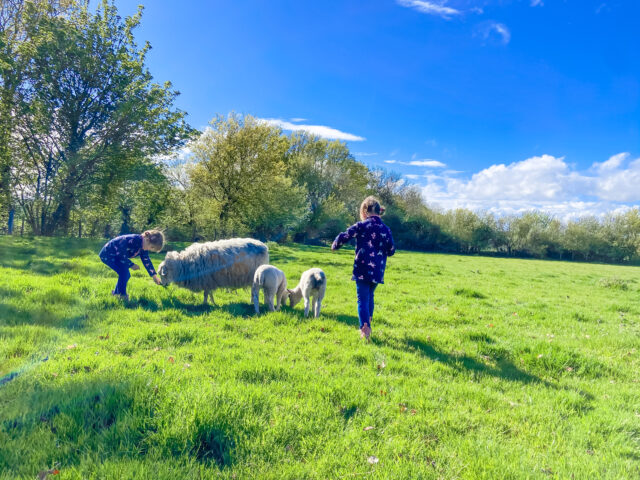 Paddock with sheep in and girls stocking the sheep and 2 lambs