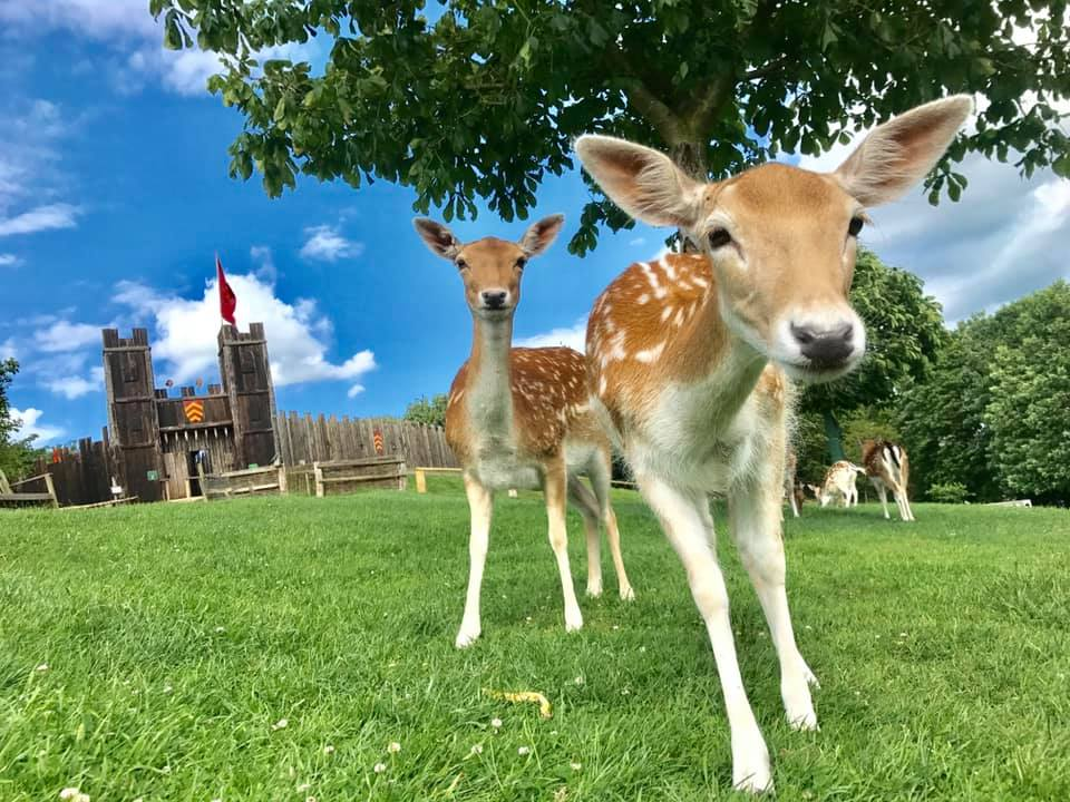 two deer looking at the camera with Mountfitchet castle entrance in the background