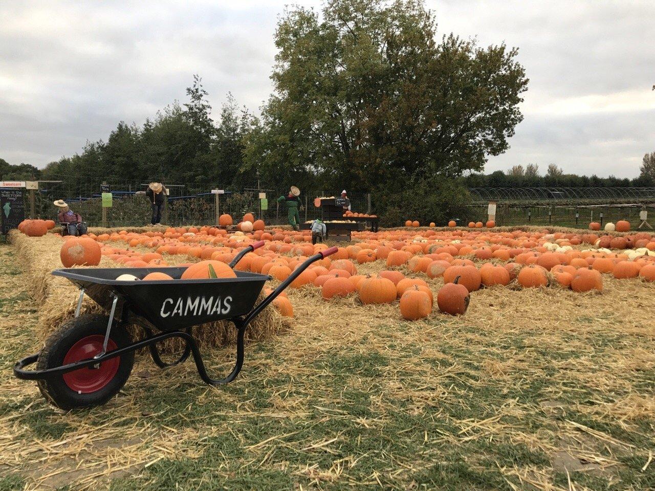 Cammas Hall pumpkins lines up on a grass field - pumpkin patches in Essex