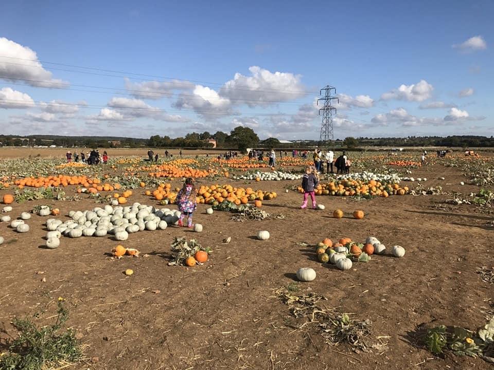 Pumpkins scattered in a muddy field in Foxes pumpkin patch - pumpkin patches in Essex